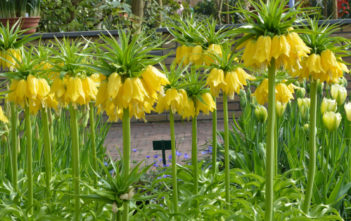 Fritillaria imperialis 'Maxima Lutea' - Yellow Crown Imperial