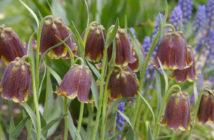 Fritillaria pyrenaica - Pyrenean Fritillary