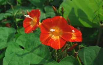 Ipomoea rubriflora - Red Morning Glory