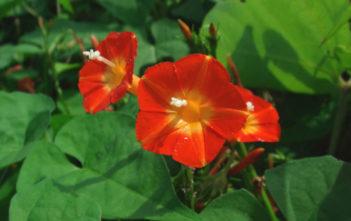 Ipomoea rubriflora - Red Morning Glory