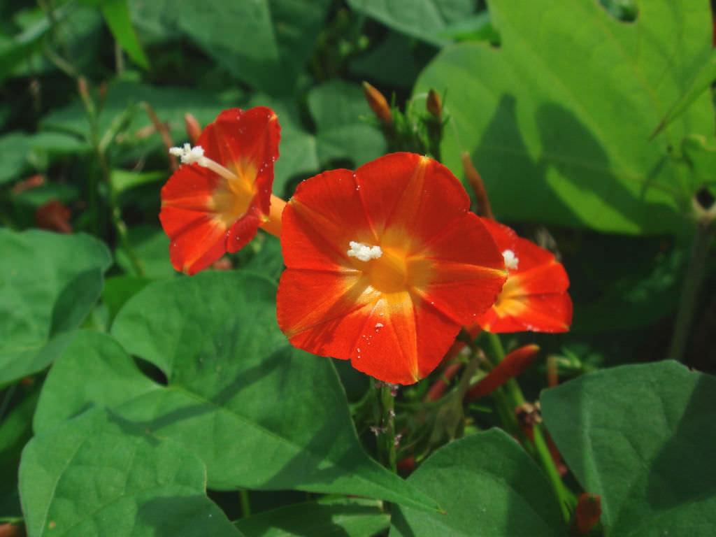Jasmine Flower Vine