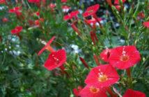 Ipomoea sloteri - Cardinal Climber