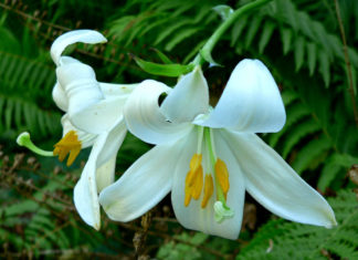 Lilium candidum - Madonna Lily