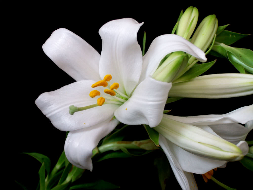 Lilium candidum madonna lily world of flowering plants lilium candidum madonna lily izmirmasajfo
