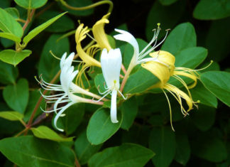 Lonicera japonica - Japanese Honeysuckle