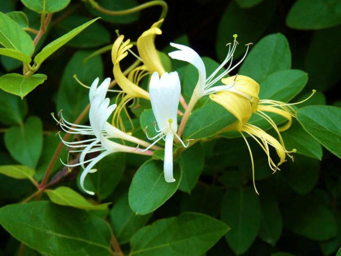 Lonicera japonica - Japanese Honeysuckle