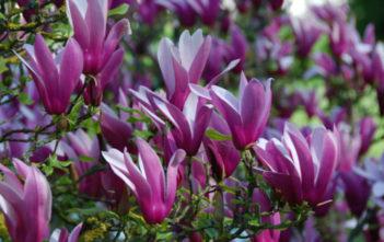 Magnolia liliiflora 'Nigra' - Black Lily Magnolia
