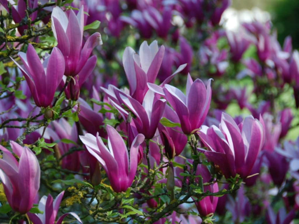 Magnolia liliiflora nigra black lily magnolia world of magnolia liliiflora nigra black lily magnolia world of flowering plants izmirmasajfo