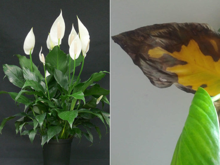 why do peace lily leaves turn yellow or brown world of flowering plants. Black Bedroom Furniture Sets. Home Design Ideas