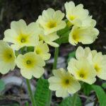 Primula elatior - Oxlip
