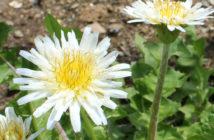 Taraxacum coreanum - Korean Dandelion