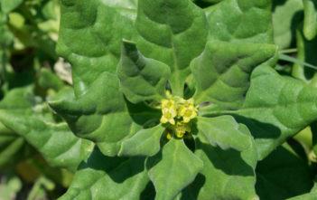 Tetragonia tetragonioides (New Zealand Spinach)