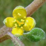 Tetragonia tetragonioides - New Zealand Spinach