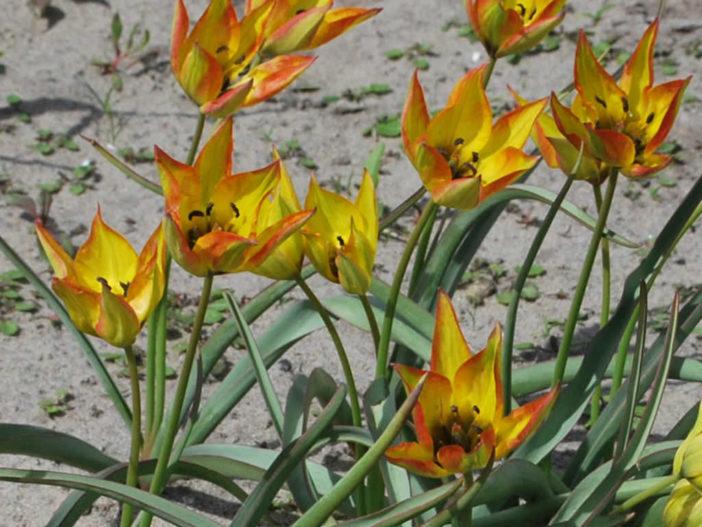 Tulipa orphanidea 'Flava'