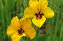 Viola pedunculata - California Golden Violet