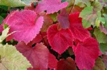 Vitis coignetiae - Crimson Glory Vine