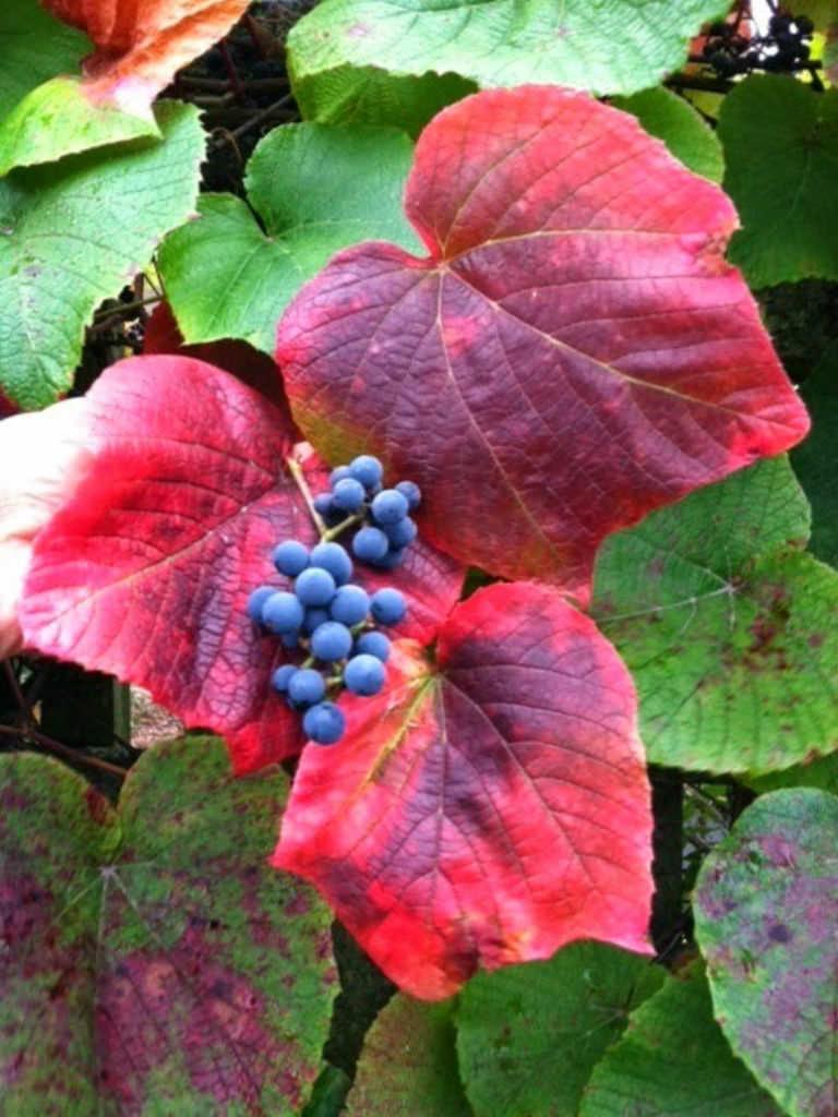 Vitis Coignetiae Crimson Glory Vine World Of Flowering