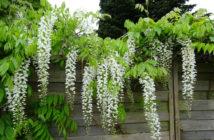 Wisteria sinensis 'Alba' - Chinese Wisteria