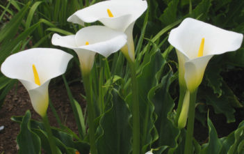 Zantedeschia aethiopica - Arum Lily