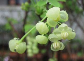 Akebia quinata 'Alba' - White Akebia