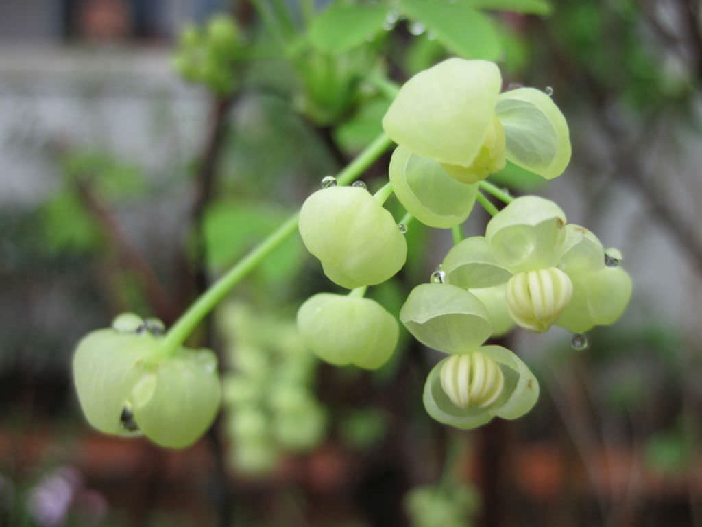 Akebia quinata alba white akebia world of flowering plants mightylinksfo