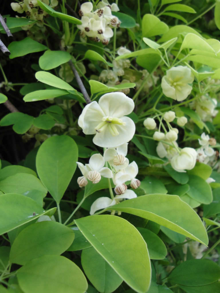 Akebia quinata alba white akebia world of flowering plants akebia quinata alba white akebia mightylinksfo
