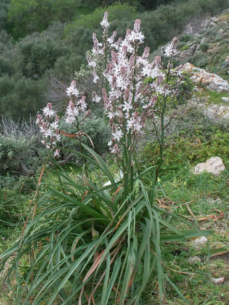 Asphodelus Aestivus Summer Asphodel World Of Flowering