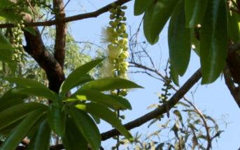 Barringtonia calyptrata - Mango Pine