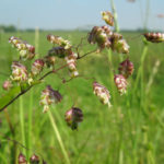 Briza media - Common Quaking Grass