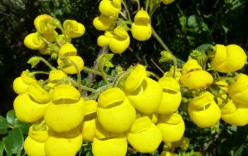 Calceolaria crenata