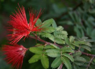 Calliandra californica - Baja Fairy Duster