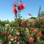 Calliandra californica - Baja Fairy Duster