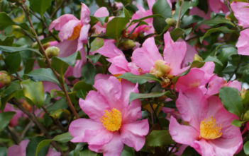 Camellia sasanqua - Sasanqua Camellia