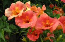 Campsis grandiflora - Chinese Trumpet Creeper