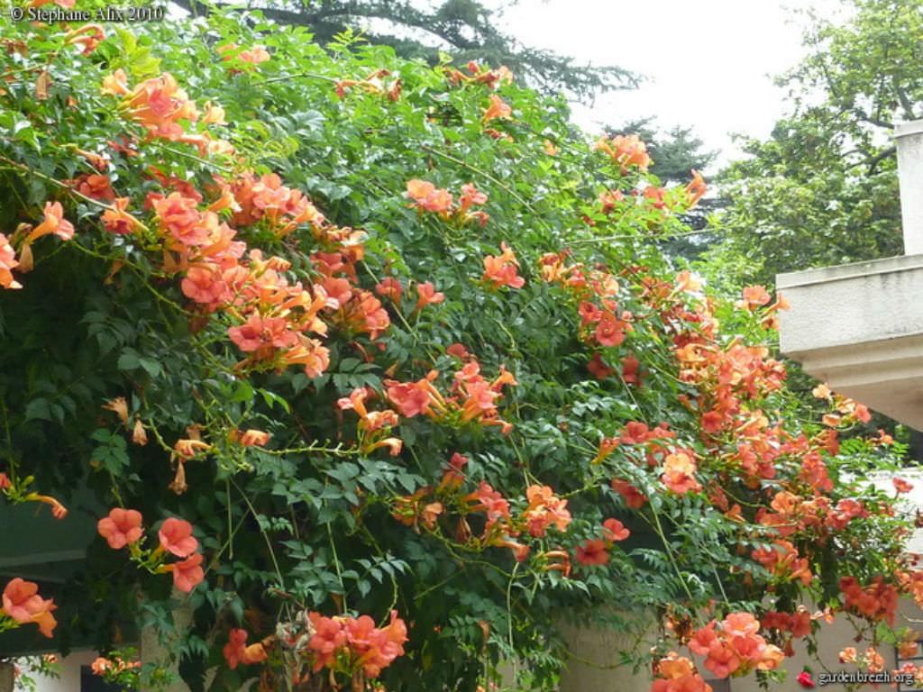 campsis grandiflora chinese trumpet creeper world of flowering plants. Black Bedroom Furniture Sets. Home Design Ideas