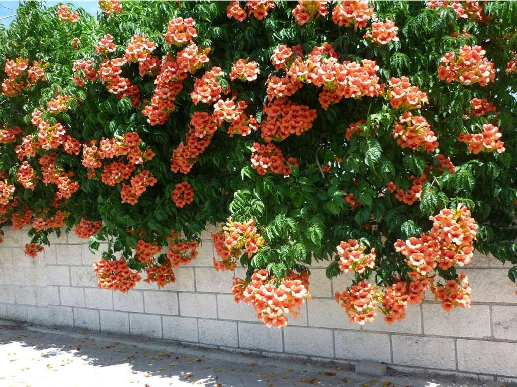 campsis radicans trumpet vine world of flowering plants. Black Bedroom Furniture Sets. Home Design Ideas