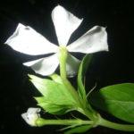 Catharanthus lanceus - Lance-leaf Periwinkle