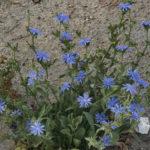 Cichorium pumilum - Dwarf Chicory