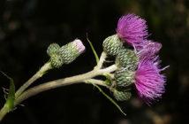 Cirsium monspessulanum - Montpellier Thistle