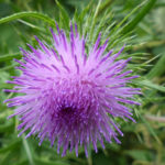 Cirsium vulgare - Spear Thistle