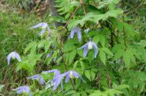 Clematis alpina - Alpine Clematis