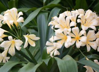 Clivia miniata var. citrina - Yellow Clivia