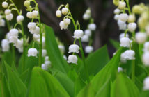 Convallaria keiskei - Asian Lily of the Valley