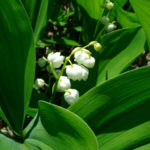Convallaria keiskei - Asian Lily of the Valley