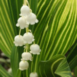 Convallaria majalis 'Albostriata' - Striped Lily of the Valley