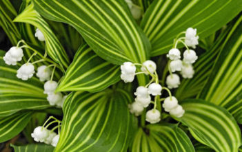 Convallaria majalis 'Albostriata' - Striped Lily of the Valley