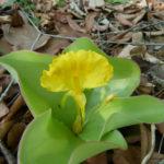 Costus spectabilis - Yellow Trumpet