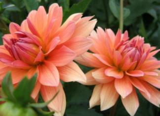 Dahlia pinnata - Garden Dahlia