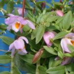 Dendrobium loddigesii - Loddiges' Dendrobium