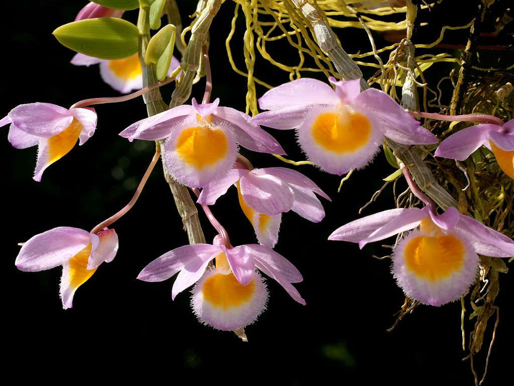 Dendrobium Loddigesii Loddiges Dendrobium World Of